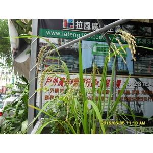 魚菜供水園架 稻熟案例