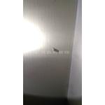 乾木白蟻(截頭堆砂白蟻)