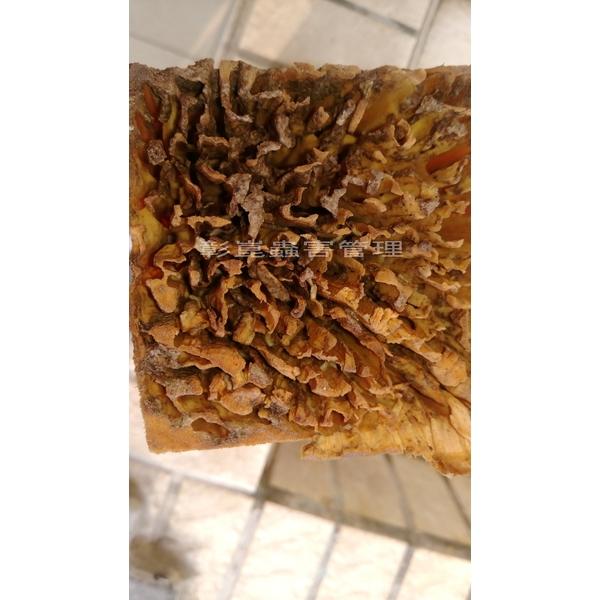 白蟻啃食後