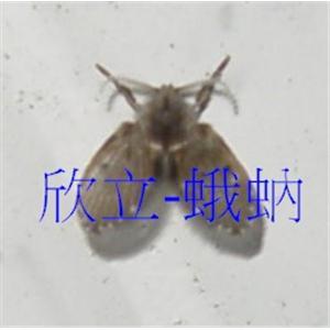蛾蚋防治-廁所小蟲