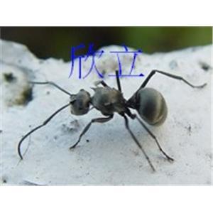 大黑蟻|螞蟻防治