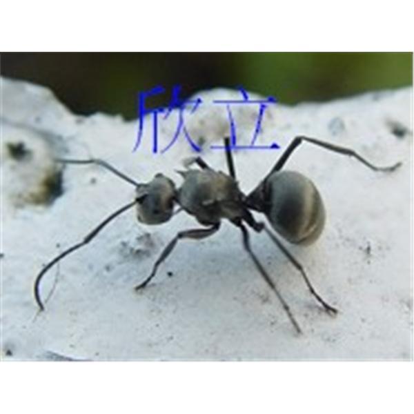 大黑蟻|螞蟻防治-欣立環保服務有限公司-台北