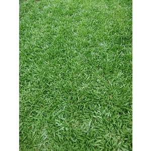地毯草-欣莆草皮農園-彰化