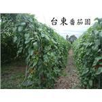台東番茄園  編織防鳥網
