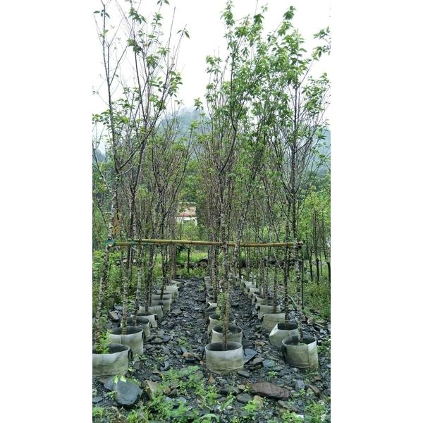 景觀樹木,庭園造景樹木,綠化樹木,園藝樹苗,道路用樹-和平園藝有限公司-彰化