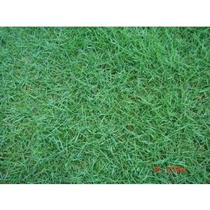 台北草(Mascarene grass)-永旺草皮農場-台中