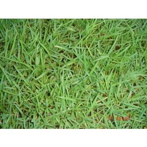 假儉草(Centipedegrass)(蜈蚣草)-永旺草皮農場-台中