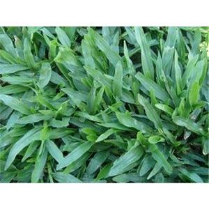 巴西地毯草(Tropical Carpetgrass)-永旺草皮農場-台中