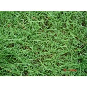 百慕達草(Bermudagrass)(狗牙根)-永旺草皮農場-台中