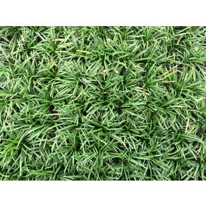 玉龍草(Ophiopogon japonicus cv)-永旺草皮農場-台中